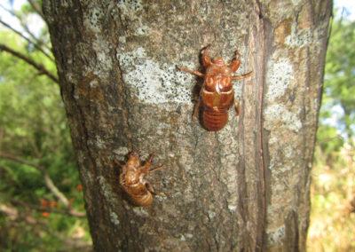Cicada Case